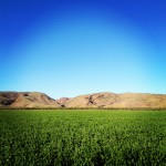 The beginnings of a chia crop on Ceres Farm.