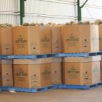 Jap Pumpkin packed in 1/2t bins